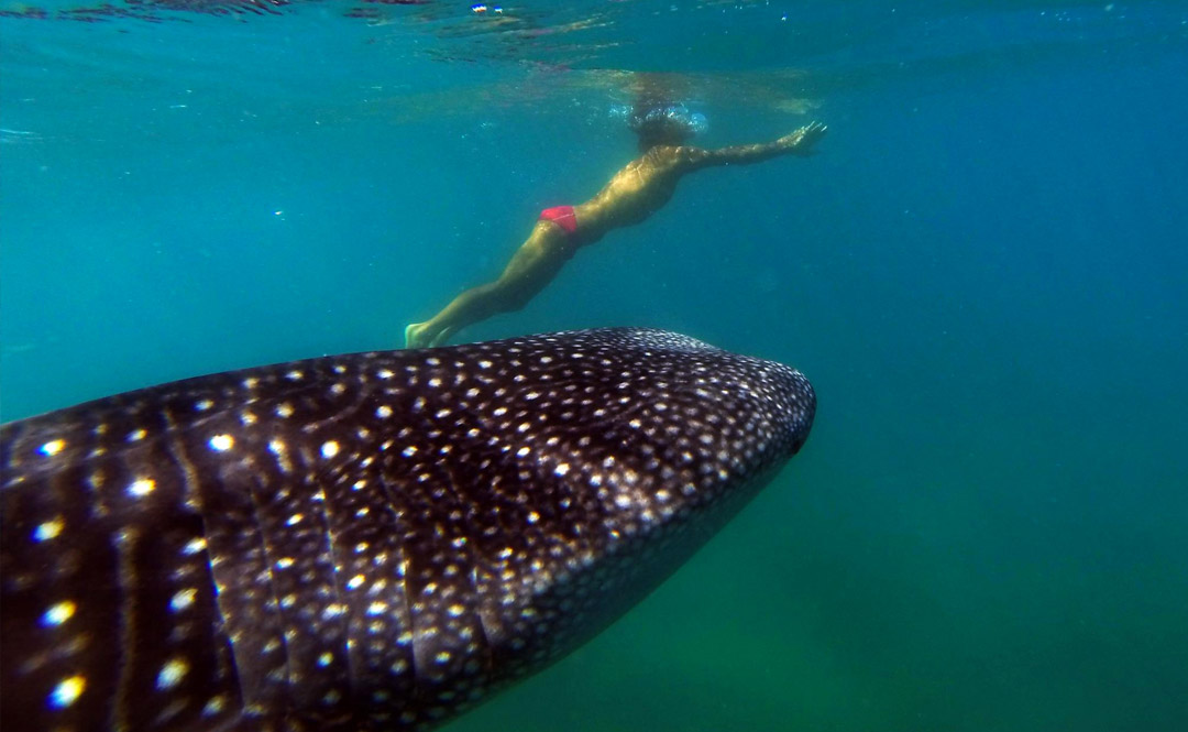 Tour destinations - Swim with Whalesharks